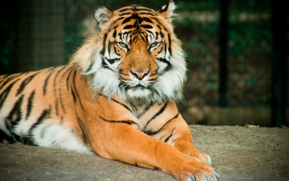 Zoo Antwerp tiger