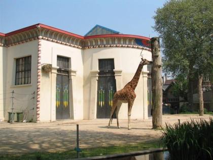 Zoo Antwerp giraffe