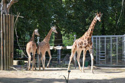 Giraffe Zoo Antwerp